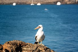 stock photo of boobies  - Nazca Booby on a rock with an out of focus background on Genovesa Island in the Galapagos Islands in Ecuador - JPG
