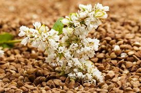 picture of buckwheat  - the buckwheat flower photographed by a close up lying on buckwheat grains - JPG