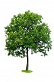 Beautiful green tree isolated on white background
