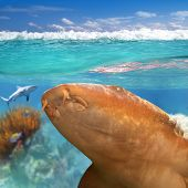 Nurse Shark Gata Nodriza Ginglymostoma Cirratum