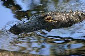 Profile Of Alligator In The Shadows