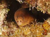 Moray Eel , Golden , Utila, Honduras Underwater Snake