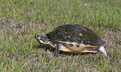 stock photo of cooter  - Cooter Turtle walking on green grass with neck extended and legs extended - JPG