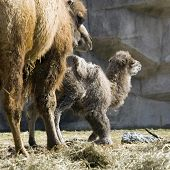 stock photo of camel-cart  - Newborn asian camel only a few days old with its mother - JPG