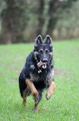 German Shepherd dog gsd in field