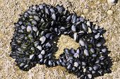 Blue mussel in rock