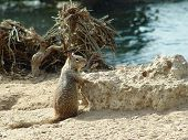 Posing Ground Squirrel