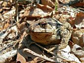 Far-Eastern Toad (Bufo Gargarizans) 4