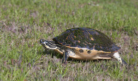 foto of cooter  - Cooter Turtle walking on green grass with neck extended and legs extended - JPG