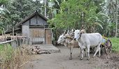 Cows and cart outside traditional indonesian house