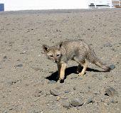 Chilean Atacama Desert fox (Lycalopex griseus)