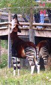 Okapi Eats