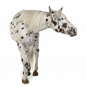 foto of appaloosa  - Appaloosa horse in front of a white background - JPG