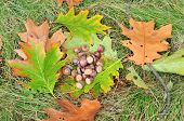 Acorns and leaves of red oak (swamp oak) on the grass. Autumn. Dendropark