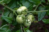 Bunch Of Green Tomatoes Ripening On The Branch In The Garden. . poster