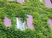 Ivy On Building Wall