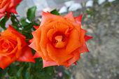 Flame Color Rose Orange Rose, Flame Colored Rose, Orange Rose, Flame Colored Rose, Close-up, poster