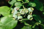 Unripe Green Blueberries Growing On Bush In Countryside poster