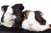 picture of guinea  - Close up of two cute guinea pigs on white background - JPG