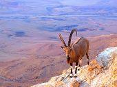 Mountain Billy-Goat