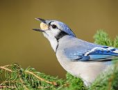 pic of craw  - Blue jay on pine branches - JPG