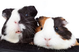 stock photo of gerbil  - Close up of two cute guinea pigs on white background - JPG
