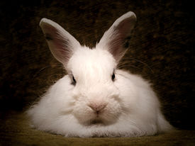 pic of bunny rabbit  - white rabbit - JPG