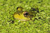 Green Frog (Rana Clamitans) poster