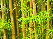 bamboo and leave