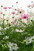 Low Angle View Of Beautiful Daisy Or Cosmos Bipinnata Cav Vertical Composition poster