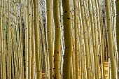 A Grove Of Aspen Trunks Reflecting The Golden Colors Of Fall poster