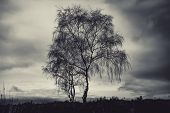 Dramatic Moody Shot Of A Lone Silverbirch Tree Against A Cloudy Sky poster