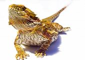Handsome Bearded Dragon
