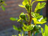 Small Fig Tree With Unripe Figs In Closeup, Popular Tropical Fruiting Plant Specie From Asia poster