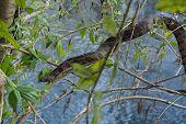 Florida banded water snake, Nerodia Fasciata in natural habitat. poster
