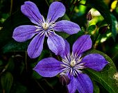 A Climbing Vine Of Purple Clematis Flowers