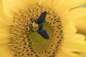 Bumblebee Collects Pollen From Sunflower.close-up Of A Fluffy Bumblebee On A Yellow Flower. poster