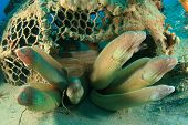 Grey Moray Eels in an old fish trap