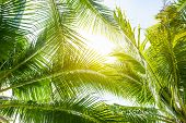 Tropical Palm Leaf Background, Coconut Palm Trees Perspective View poster