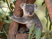 Koala Joey Hugs A Tree Branch Surrounded By Eucalyptus Leaves poster
