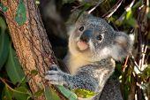 Koala Joey Hugs A Tree Branch And Looks For Fresh Eucalyptus Leaves poster