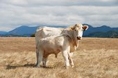 image of charolais  - Charolais Cow and calf standing in a field in the Mildred Kanipe Park near Oakland OR - JPG