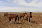 foto of horse plowing  - 3 horses spelling in paddock with cloudy sky - JPG
