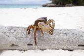 Poo Kai  Crab In Tachi Island Southern Of Thailand