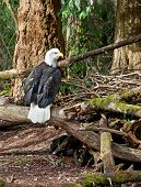 Bald Eagle Sitting On Branches