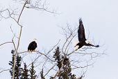 American Bald Eagles perched and starting to fly