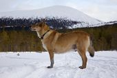 foto of laika  - Hunting dog in winter forest on the background of the mountains - JPG
