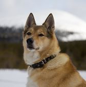 stock photo of laika  - Portrait of a red - JPG