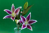 Stargazer Lily Flowers