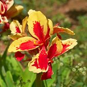 picture of gladiola  - colorful red and yellow gladiola flower closeup - JPG